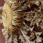 ...subrandinusi sėklas karlina žūna