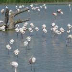 flamingai